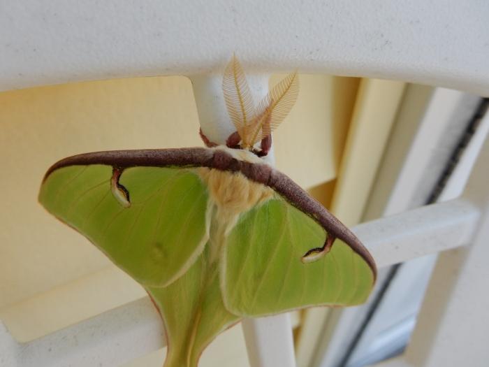 luna moth 2